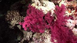 Coral violet purple color underwater in Red sea Footage