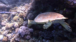 Giant reptile Hawksbill sea turtle Eretmochelys imbricata in Red sea Footage