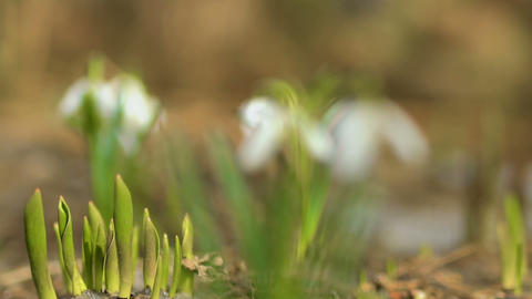 Beautiful blurred snowdrops Footage