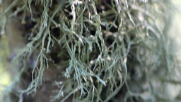 Graceful lichens on tree trunk Footage
