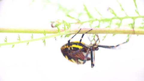 Dangerous animals. Beautiful striped spider crawls on blade of grass Footage
