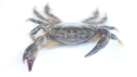 Portrait of crab on white background Live Action