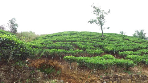 tea plantation field on Sri Lanka Footage