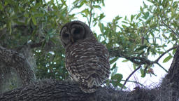 Barred Owl on a tree Footage