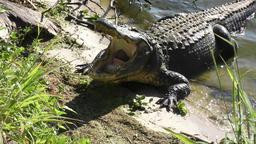 large alligator yawning Footage