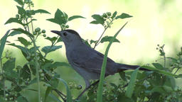 gray catbird calls and eats berries Footage