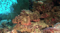 Dangerous poisonous stone fish on background underwater landscape in Red sea Footage