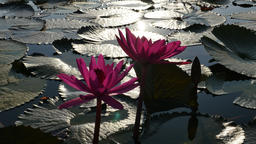 Lotus reflecting sunlight in the morning Live Action