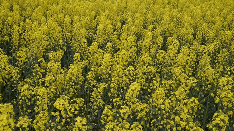 Flowering rape in the field. Yellow rape flowers in the field. Cedar rape crop Footage