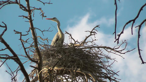 Gray heron colony or Heronry or heron rookery. Breeding ground for Ardea cinerea Footage