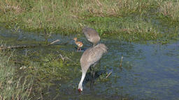 sandhill cranes with a chick Footage