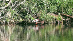 Ducks animals nature bird wild 영상물