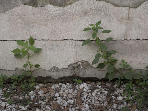 destroyed concrete wall and weeds フォト
