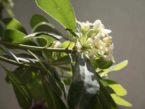 lemon flowers detail フォト