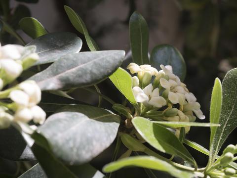 lemon flowers detail Fotografía