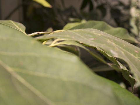 detail of leaves of an avocado tree フォト