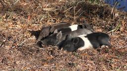 wild piglets rest in Florida wetlands Footage