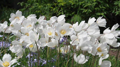 Anemone is a genus of perennial herbaceous plants Footage