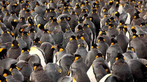 King Penguins On South Georgia Island, Live Action