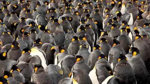 King Penguins On South Georgia Island Stock Video Footage