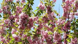Blooming pink sakura tree branch. Cherry sakura spring flowers 影片素材