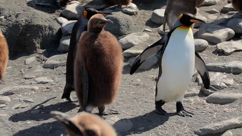 King Penguins On South Georgia Island Stock Video Footage