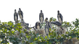 Group painted Storks on tree Footage