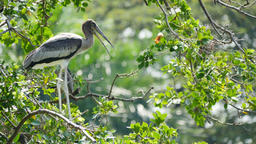 Painted Storks on tree Footage