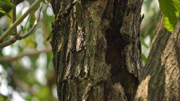 Collared scops owl GIF