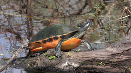Florida Red-bellied Turtle basking Footage
