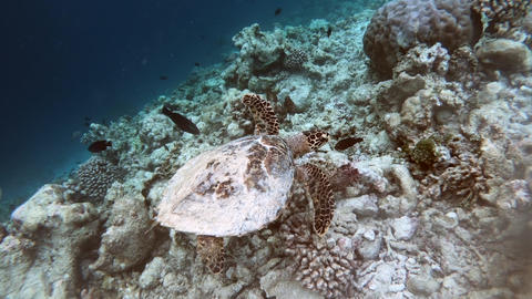 Blue Lagoon With Sea Turtle Swimming Among Fish Footage