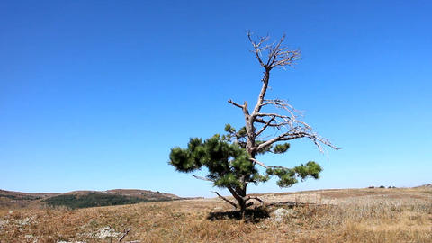 Lonely old half dry pine on plateau 2. Dry mountain meadows and mountain steppes Live Action