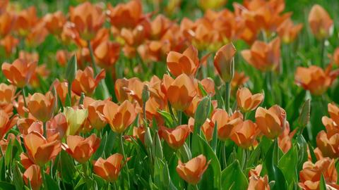 Tulip 26 ライブ動画