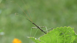 walking stick insect Footage