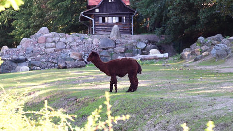 Brown Alpaca Grazing In A Field Stock Video Footage
