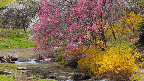 Flowering peach trees on the bank of a mountain stream ライブ動画