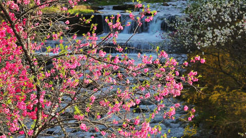 Orchard of peach trees bloomed in spring. Nagano Prefecture ライブ動画
