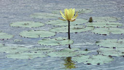 yellow waterlily in the wind Footage