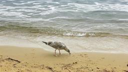 seagulls feed near the lake Footage