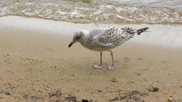 seagull feeds near lake Footage