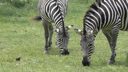 zebras eating grass Footage