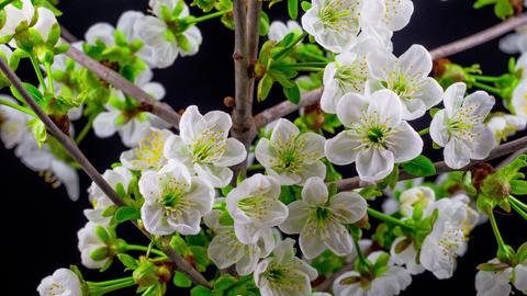 Sunny Spring Morning in Cherry Garden Footage