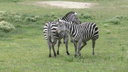 zebras in the grassland Footage