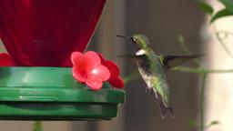 Ruby- throated hummingbird male feeds Footage