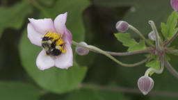 bee collecting pollen on pink flower Footage