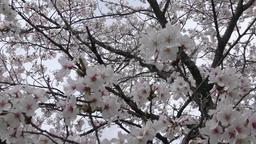 Sakura 3 ภาพวิดีโอ