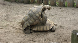 two big turtles mating Footage