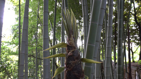 Drip from bamboo sprout or bamboo shoot in the morning Footage