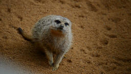 Meerkat suricate looking around - Suricata suricatta Footage
