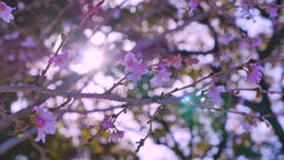 Pink cherry blossoms in garden at morning time Footage